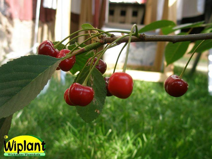 Prunus cerasus Lettisk låg-Latvian matala, Buskkörsbär. Självfertil med tunna grenar och mörka bär.