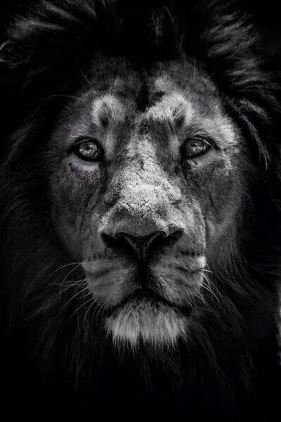 Black Lion face | Wild animals - beutiful | Pinterest ...