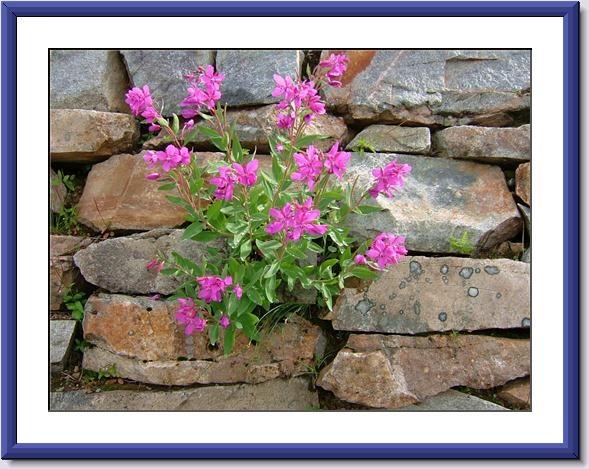 Flowers growing on the rock wall  Meadows in the Sky  Revelstoke B.C.