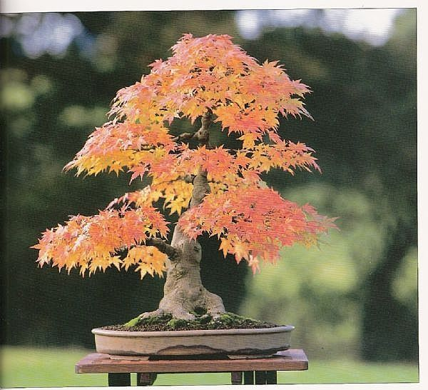 start-bonsai-tree-800x800.jpg (600×546)