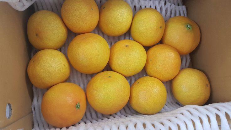 제주도 황금향 감귤 #Tangerine in #Jejudo #gamgyul #제주도 #감귤 #황금향  #KBS강성실 냠냠 from #KBS강주환