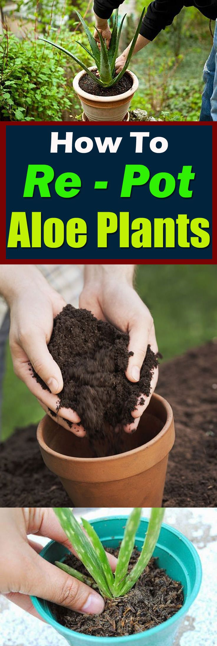 "If you've got clump-forming succulent plants, this informative guide on ""How to Re-pot Aloe Plants"" will help you in dividing, propagating, and repotting them!"