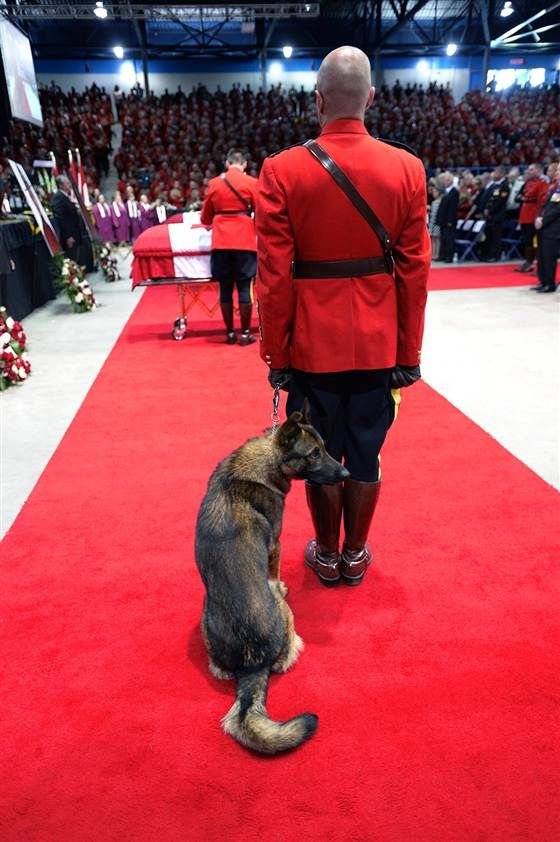 Danny, the K9 partner of slain RCMP Constable Dave Ross, looks around at the start of the RCMP regimental funeral on Tuesday. Royal Canadian Mounted Police Constable Dave Ross, along with fellow officers Fabrice Gevaudan and Douglas Larche, were killed by a shooter in Mocton, New Brunswick last week while on duty. Danny was wimpering during the ceremony. He missed his partner.  :-(