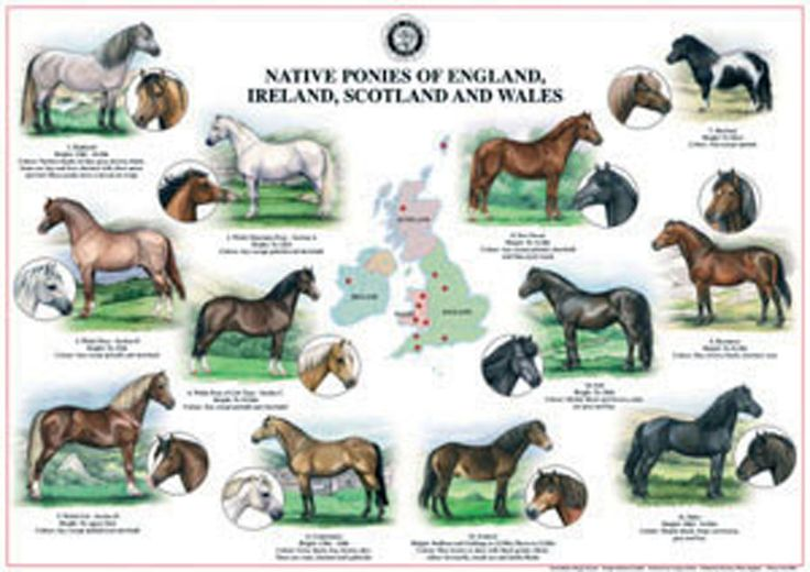 Native Breeds Wall Chart   Distributed by Quiller Publishing. An excellent wall chart showing all the Native Ponies  of England, Ireland, Scotland and Wales. #horse #pony #native #breeds