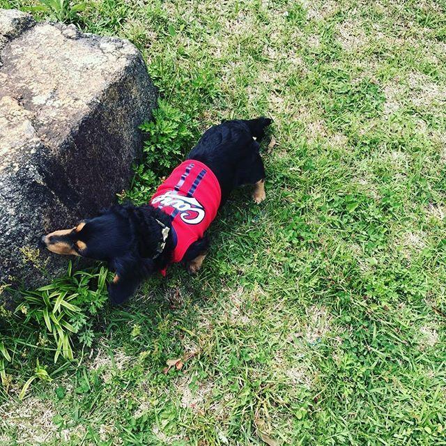お散歩🐶🌱🌱 #ミニチュアダックスフンド #ブラックタン #愛犬#カープ女子
