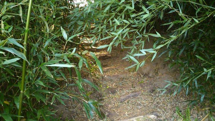 Meer dan 40 verschillende soorten bamboe vormen samen de bamboe jungle van Netl de Wildste Tuin. Phyllostachys, Frargesia, Sasa en Semiarundinaria en nog veel meer soorten.   http://www.netl.nl/attracties/bamboe-jungle/