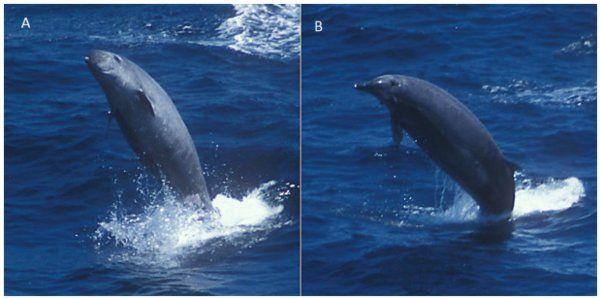 TENERIFE - Filmati per la prima volta il mesoplodonte di True (Mesoplodon mirus), un cetaceo odontoceto della famiglia Ziphiidae, una specie di balena la c