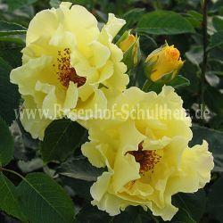 Tibet-Rose - Suche - Rosen von Schultheis