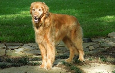 Memphis Area Golden Retriever Rescue Come to the