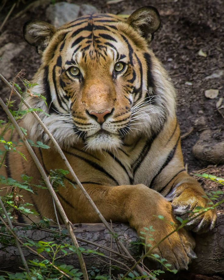 The Powerful Presence of The Tiger | Connor the Malayan Tiger