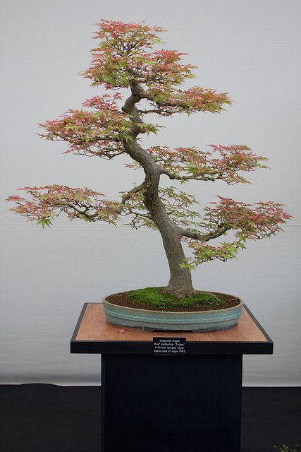 Bonsai, may be some maple tree, I have no idea.