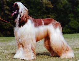Resultado de imagen para fotos de perros lebrel afgano