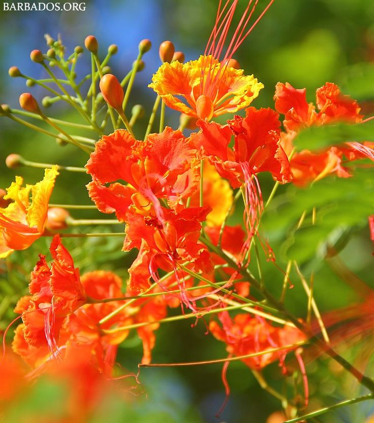 The stunning Pride of Barbados, our national flower.