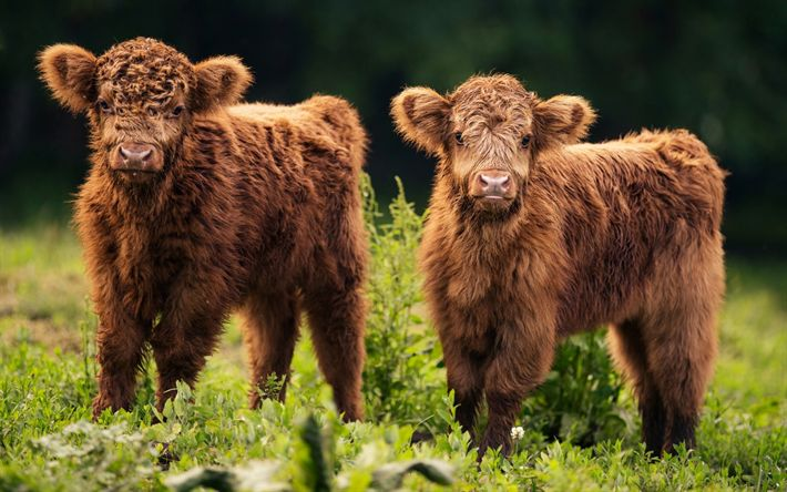 Download wallpapers small bulls, cute animals, brown bulls, mountains, farm