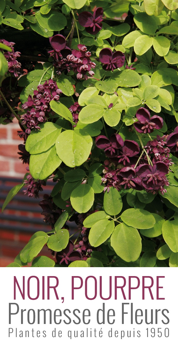 Les Akebias sont des plantes grimpantes hautes de 5 à 8m au feuillage semi-persistant. Les feuilles, coriaces sont vert foncé dessus, bleu vert au revers se teintant de pourpre en hiver.