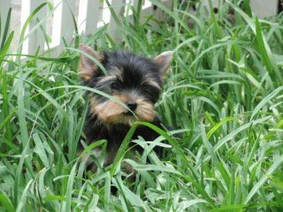 Bonito yorkshire terrier de criadero cantillana sevilla
