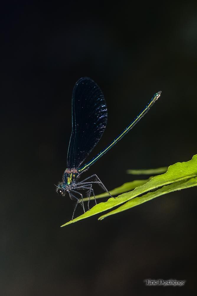 Calopteryx by Eric Deschênes