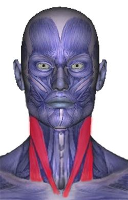 sternocleidomastoid muscles, affect head, eyes, sinus, ears & throat, causing pain, dizziness & more