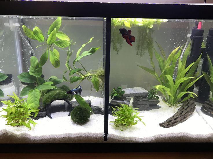 Best 25 betta tank ideas on pinterest betta aquarium for Buy fish tank