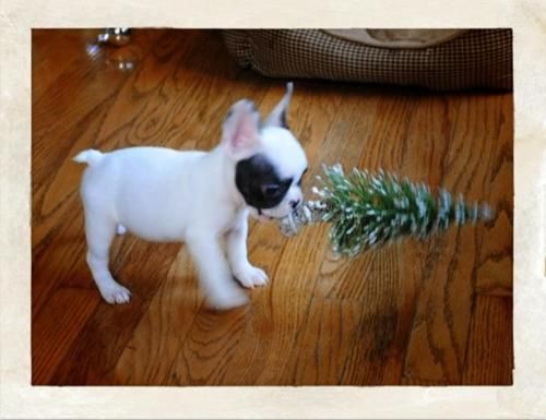 Puppy With TreeBulldogs Puppies, Xmas Trees, French Bulldogs, Baby Animal, Boston Terriers, Happy Holiday, Christmas Trees, Terriers Pup, Merry Christmas