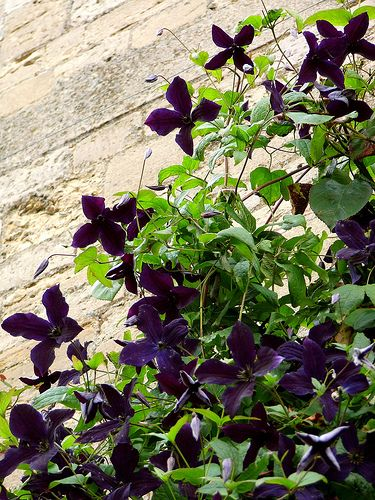 Clematis 'Black Prince'. Deep purple clematis flowers, among the darkest varieties.