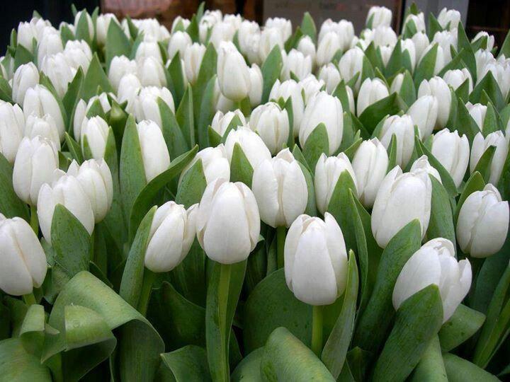 8 best flores blancas images on Pinterest White flowers Plants