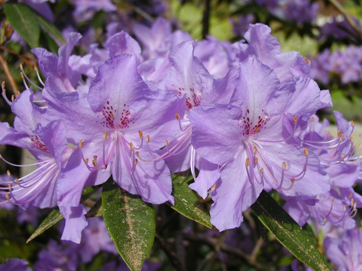 Rhododendron augustinii   #plants