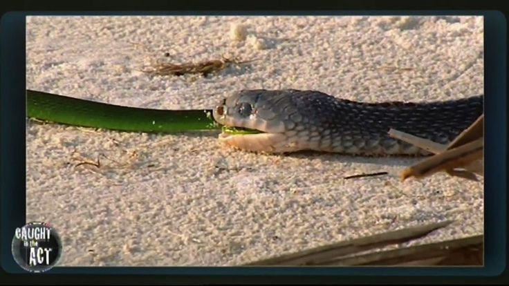 Snake Hunts Snake | Caught In The Act