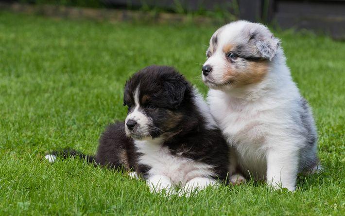 Indir duvar kağıdı yavru köpekleri, Avustralya Çoban Köpeği, küçük köpekler, sevimli hayvan, Aussie, köpekler