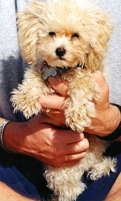 Toy Poodle in apricot, which I have and love Dearly as her Daddy does also.  She is our sweet intelligent baby girl (10 yrs now) but I find it almost impossible for someone not to love these sweet babies once you show them who's boss!!