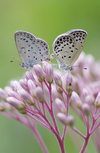 Flowers & Flowers: Pink Flower, Nature,  Lycaenid Butterflies, Wings, Beauty Butterflies, Butterflies, Gardens, Beauty Creatures, Black Spots