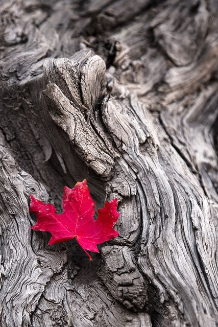 The rich and delicate red maple leaf makes a lovely texture & color-contrast to the silvery grey rugged bark!