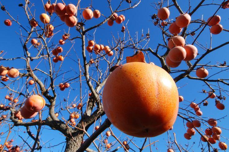 Siamo nel periodo dei cahi o pomi che dir si voglia. L'albero del cachi affonda le sue radici in Cina, ma si è ambientato benissimo suule sponde del Medite