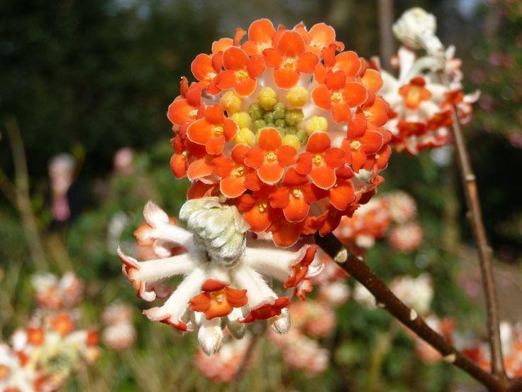 34 best images about edgeworthia on pinterest for Edgeworthia chrysantha