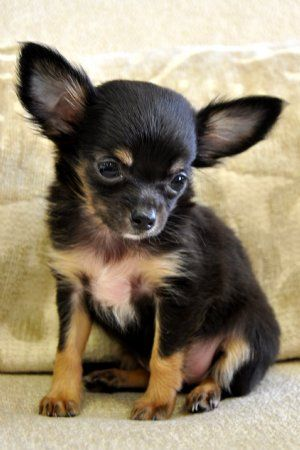 pictures of chihuahuas | puppy who is under 6 months oldest is the easiest to train as they ...
