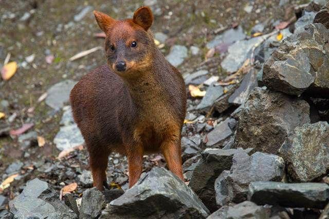 Un pudú en el Parque Nacional Queulat. Gustavo Castaing