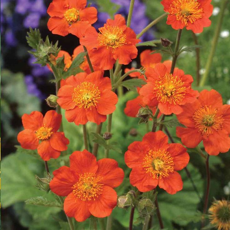 Geum Queen Of Orange Single Flowers With Yellow Anthers Height And Spread