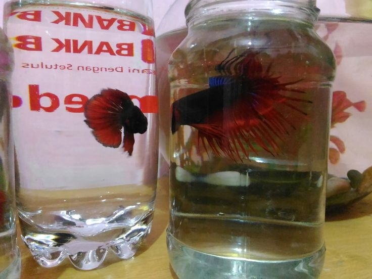 2. Fiva & 2.Fivo #bettafish