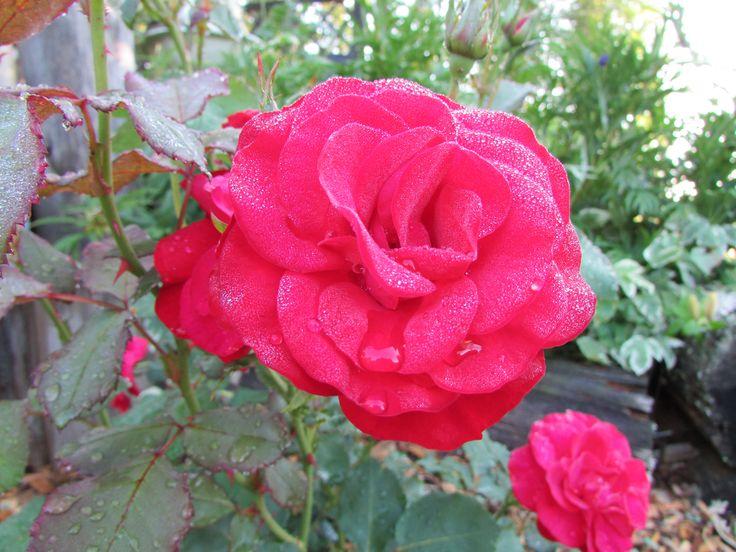 Ihana ruusu.