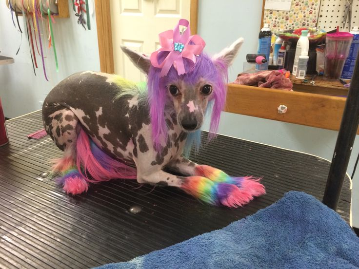 Repinned Chinese Crested With Rainbow Colors Sweet Girl