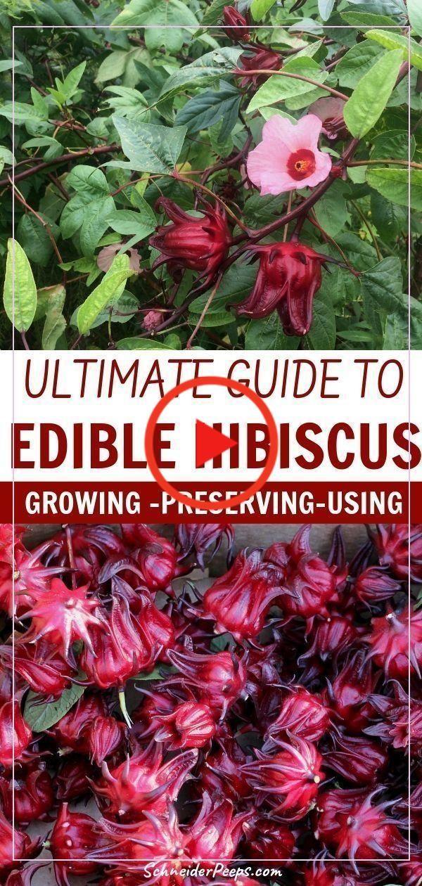 Essbare Garten 48933 Essbare Garten 66653 Edible Hibiskus Ist Eine Grosse Bereicherung Fur Den In 2020 Growing Hibiscus Edible Landscaping Edible Garden