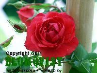 11. `Morden Ruby´  IV, 1 m, pystykasvuinen, aurinkoisella paikalla. Hyvä leikkokukkanakin. Kaunis sisarlajike Adelaide Hoodlessille. Tämä rubiininpunainen ruusu kukkii runsaasti koko kesän. Korkeus n. 1 m. Hyvä vastustuskyky härmälle ja mustalaikkutaudille. Myskin tuoksu.