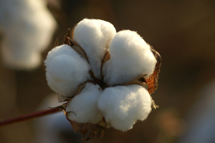 Cotton: Cotton Seeds, Bt Cotton, White Cotton, Cotton 50, Cotton Flowers, Cotton 100, 50 Seeds, 100 Seeds, Cotton Attraction