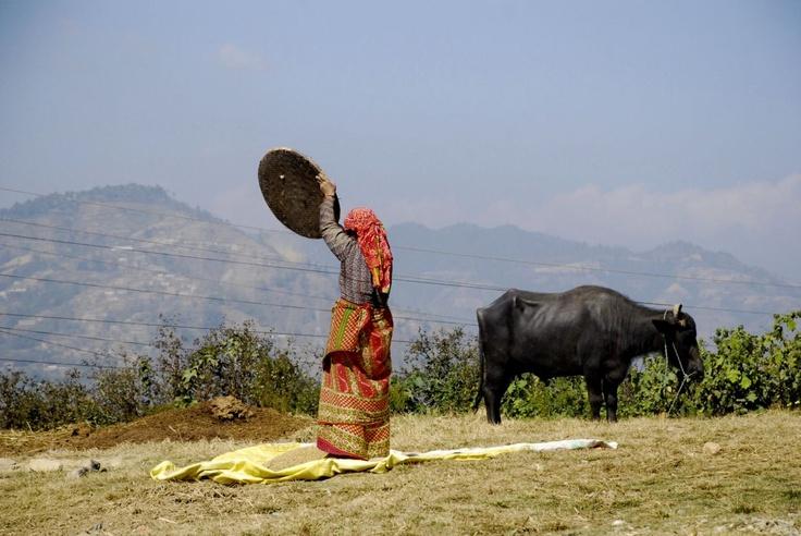 Suszenie ryżu w Dalikhel