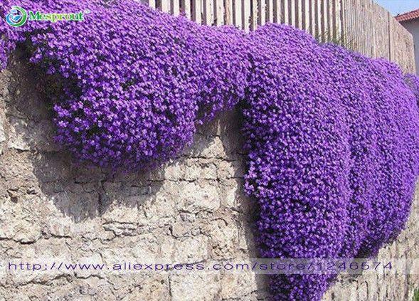 Flower seeds 100 Aubrieta Seeds - Cascade Purple FLOWER SEEDS, Superb perennial ground cover , flower seeds for home garden