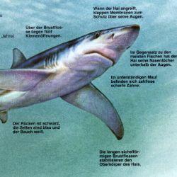 Blauhai – bei uns nur ein seltener Sommergast.  In jedem Sommer taucht der Blauhai mit dem Golfstrom vor den Küsten der Britischen Inseln auf, Blauhaie leben in den tropischen Gewässern der ganzen Welt.  Bis in die späten 40er Jahre wußte man nur von vereinzelten Blauhaien, die vor der englischen Kanalküste gefangen wurden.   http://www.angelstunde.de/blauhai/