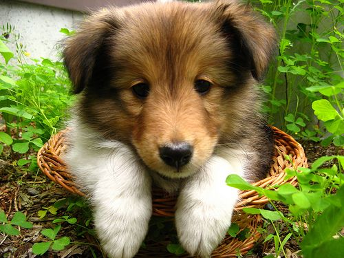 Adorable Sheltie puppy: Collie, Wicker Baskets, Sheepdog Shelti, Shetland Sheepdog Puppys, Shelti Puppys, Pet, Puppys In Baskets, Baby, Animal