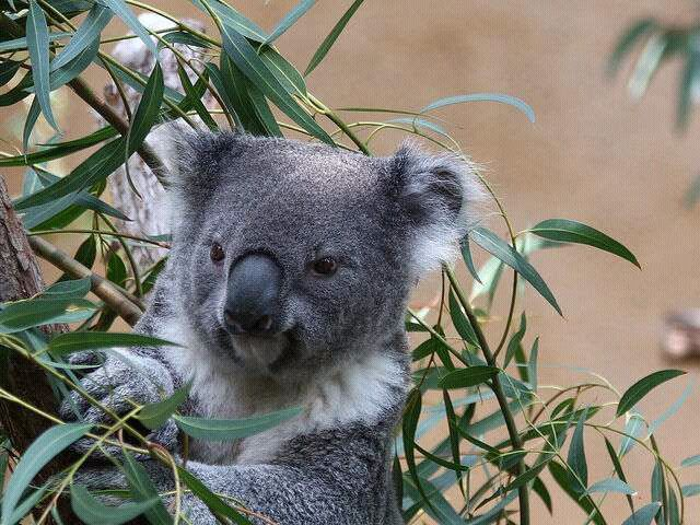 Koala in gum tree. They eat the leaves from these trees