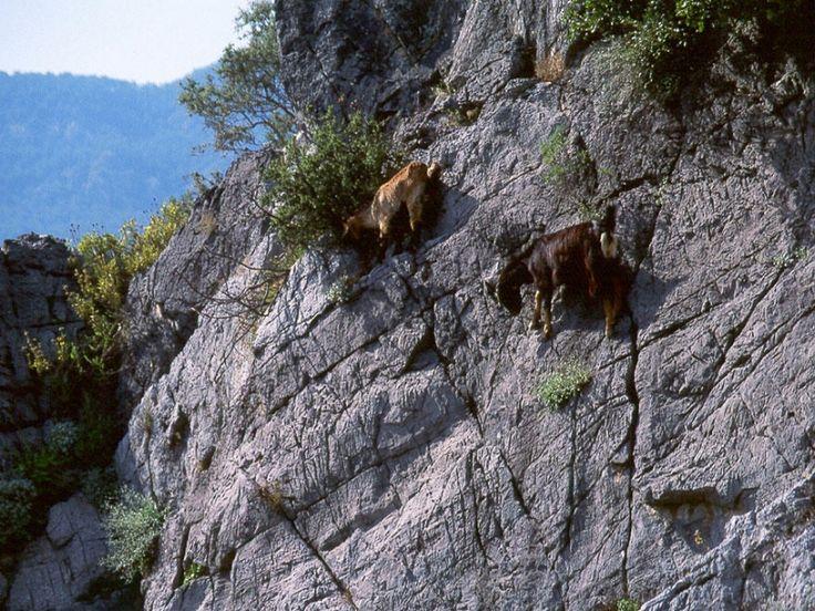 Горные  козлы   могут  передвигаться  по   отвесным  скалам. МИРТЕСЕН.