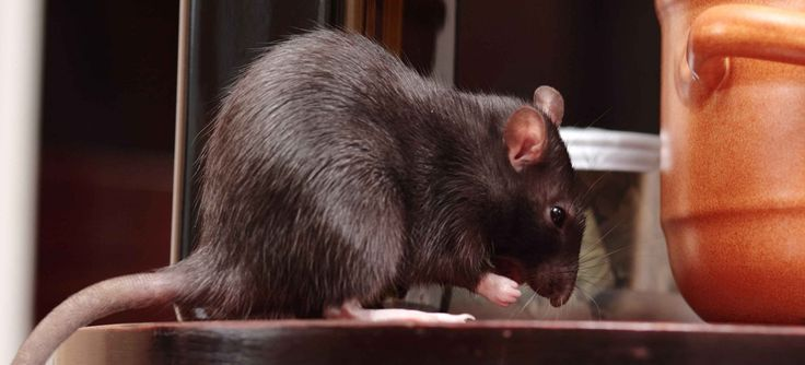 Get help for safe pest control in Australia for different types of rodents mainly found in homes. if you know the location of the rats, then you can set traps or place bait.